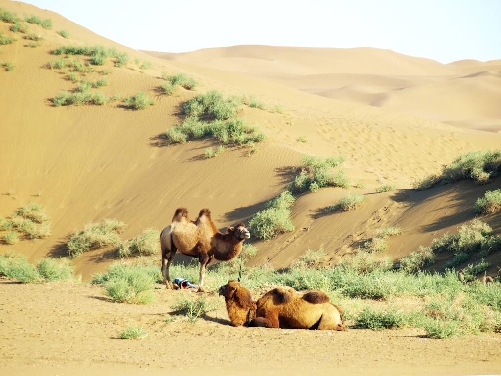 国粹论坛-[贴图] 沙漠与骆驼